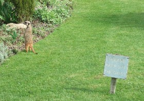 Those meerkats!