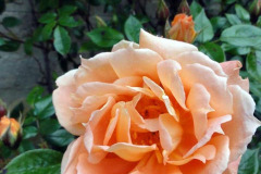Claire Hall: Roses at Walton House