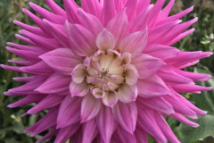 Daphne Preston: A Single Pink Dahlia