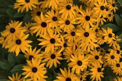 Daphne Preston: Rudbekia in the Garden
