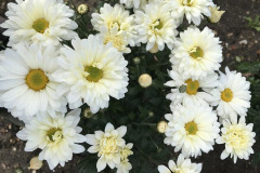 Daphne Preston: Spray Chrysanthemums