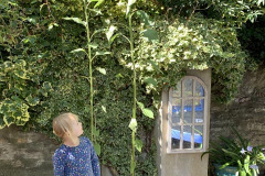 Isobel Coysh (age 3): Sunflowers