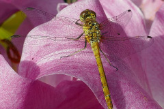 Mick Bonwick: Dragonfly on Lily