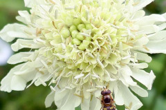 Mick Bonwick: Hoverfly on Scabious