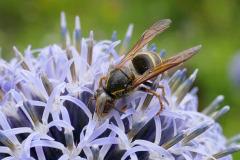 Mick Bonwick: Wasp on Echinops
