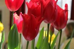 5. Early tulips